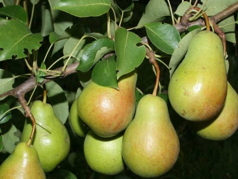 Груша «бергамот»: характеристика плодов, посадка и уход, разновидности