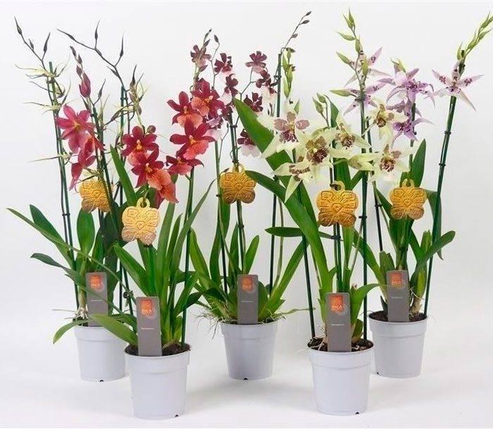 Правила посадки и ухода за орхидеей камбрия дома: как поливать, удобрять, обрезать