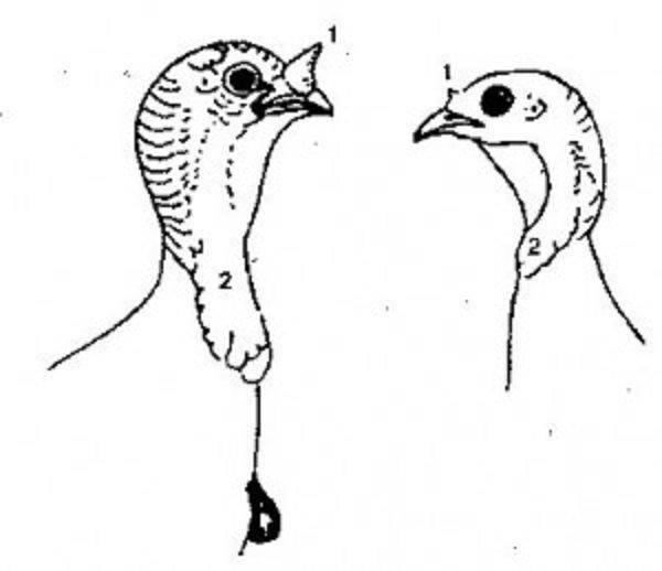 Как отличить индюка от индюшки: суточного, месячного и других возрастов