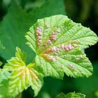 Чем обработать смородину осенью от вредителей и болезней