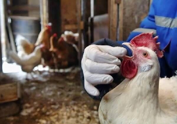 Опасные болезни кур, симптомы и лечение