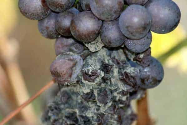 Виноград шахтер описание сорта фото отзывы