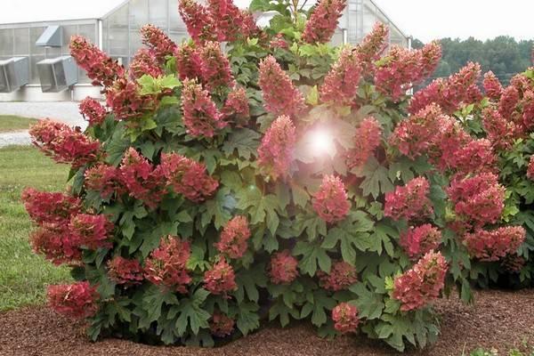 Гортензия вимс ред: описание кустарника, особенности цветения, зимостойкость + правила агротехники и отзывы дачников