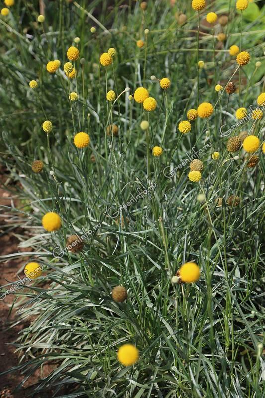Краспедия: технология выращивания из семян