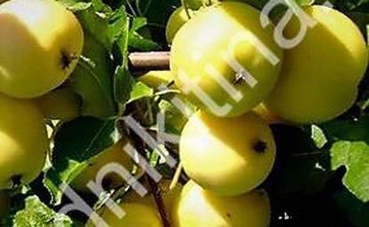 Уральское розовое — устойчивая яблоня с хорошей урожайностью