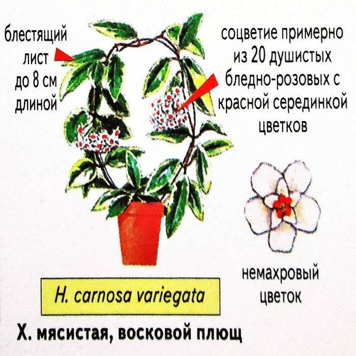Восковой плющ: фото и можно ли держать дома, почему цветок нельзя растить в квартире, какой вред может принести, как ухаживать за хойей? selo.guru — интернет портал о сельском хозяйстве