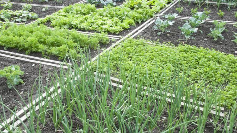 Совместные посадки овощей на грядке с примерами