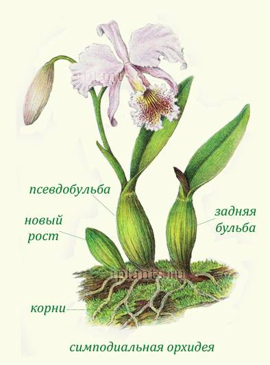 Кустовая орхидея: описание: фото и уход в домашних условиях