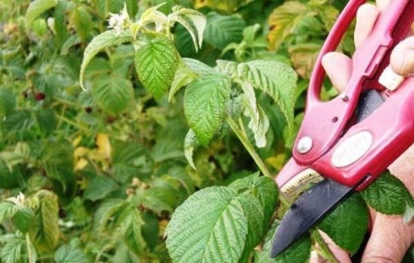 Весенняя посадка малины