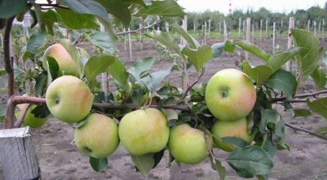 Яблоки северный синап – учимся выращивать морозостойкий сорт + видео