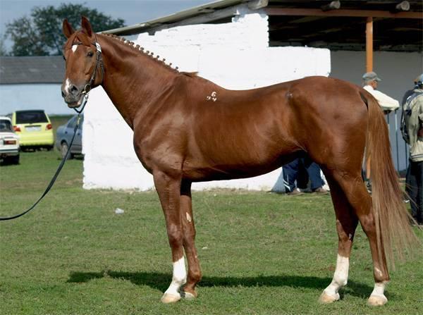 Будённовская лошадь: характеристика породы, фото