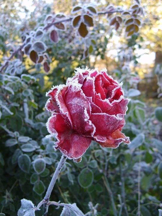 Укрываем розы на зиму – лучшие варианты