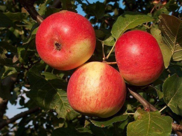 Сортовая характеристика яблони Память Мичурина