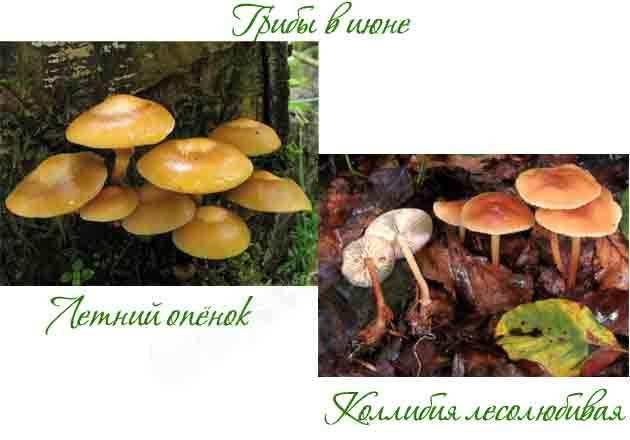 Самые ранние съедобные грибы – список, описание, фото и видео