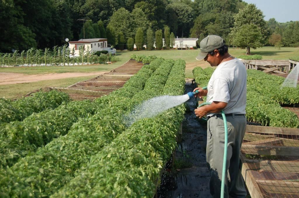 Как часто поливать помидоры - как правильно необходимо поливать в теплице и на открытом грунте (135 фото)