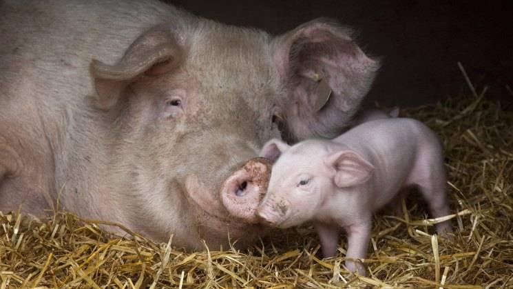 Разведение свиней: выращивание в домашних условиях для начинающих