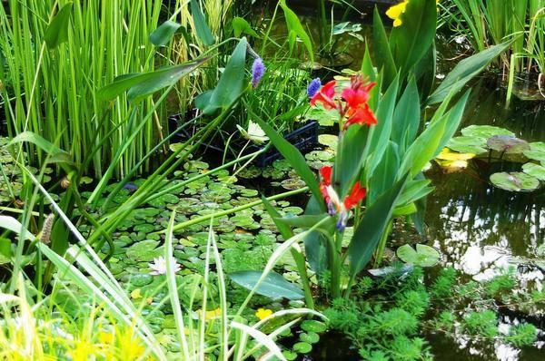 Растения для пруда: прибрежные и водные. описания, фото.
