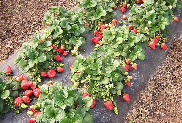 Семена клубники из клубники - выращивание в домашних условиях: рассада и посадка