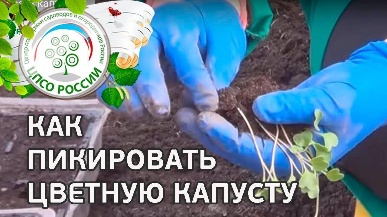 Как правильно пикировать капусту