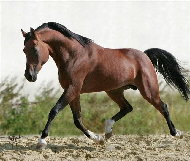 Английская чистокровная порода лошадей: фото, описание