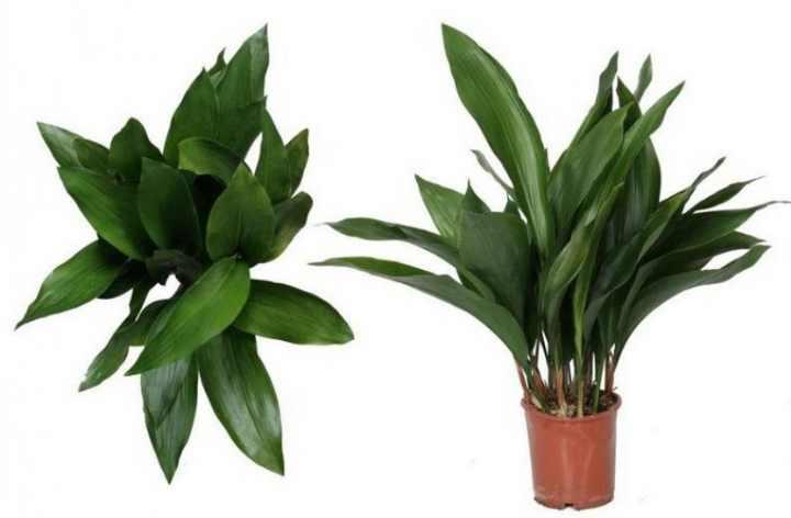 Аспидистра: уход в домашних условиях, фото, особенности цветения и размножения