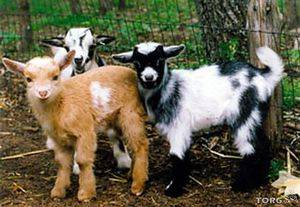 Камерунские козы: описание породы, особенности содержания, фото и отзывы камерунские козы: описание породы, особенности содержания, фото и отзывы