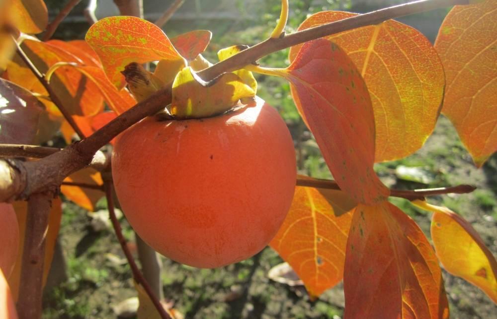 Хурма из косточки в домашних условиях: выращивание и уход (+фото и видео)