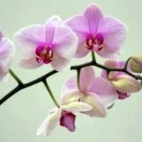 Как заставить цвести орхидею фаленопсис в домашних условиях? что делать, чтобы она зацвела повторно? по каким причинам она не цветет?
