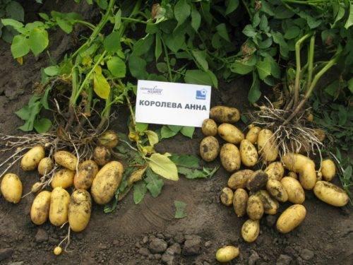 Картофель любава: характеристика и описание сорта, фото, урожайность, выращивание и уход, болезни и вредители, сбор овоща