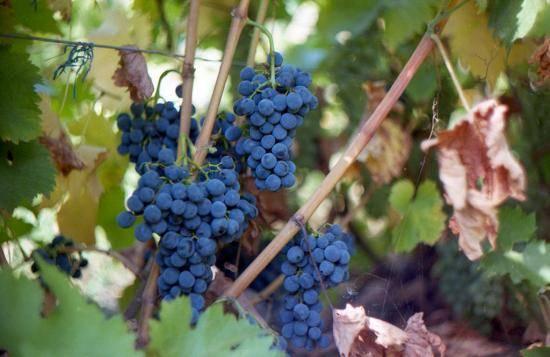 Виноград краса севера – так ли он хорош?