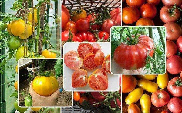 Помидоры (томаты) – как правильно и когда сеять / сажать в 2021 году?
