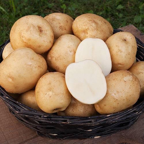 Картофель сказка: описание сорта, преимущества, особенности ухода