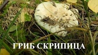 Скрипун, гриб-скрипица или груздь войлочный (lactarius vellereus): фото, описание и как его готовить
