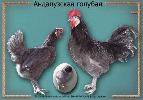 Андалузская порода кур – описание голубой, фото и видео