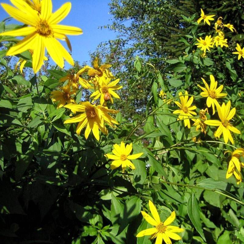 Посадка топинамбура | вырасти сад!