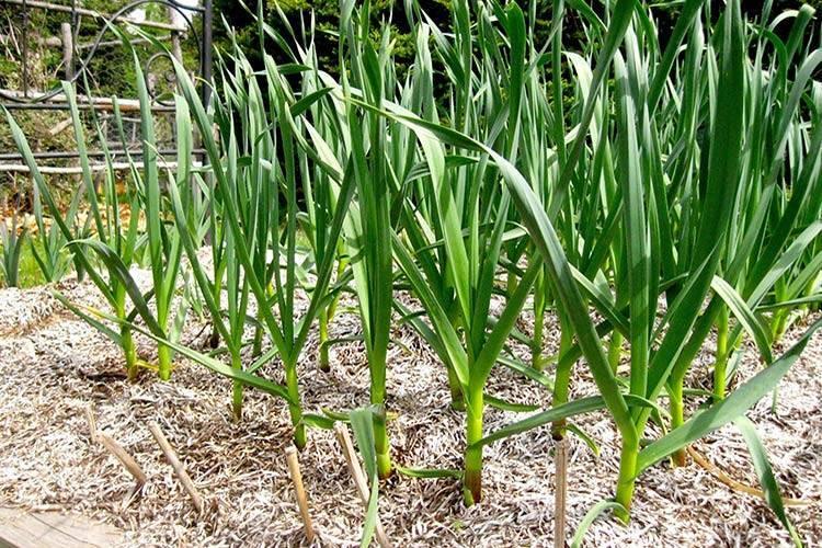 Уход за чесноком при выращивании в открытом грунте: видео, особенности технологии и условия, как вырастить хороший урожай