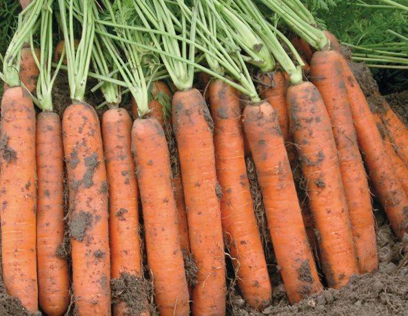 Морковь балтимор f1  (baltimore f1): описание сорта, фото, отзывы