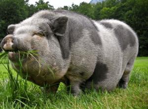 Крупная черная свинья: описание, характеристики и фото породы