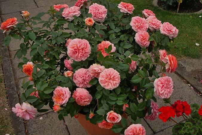 Описание и характеристики розы чиппендейл