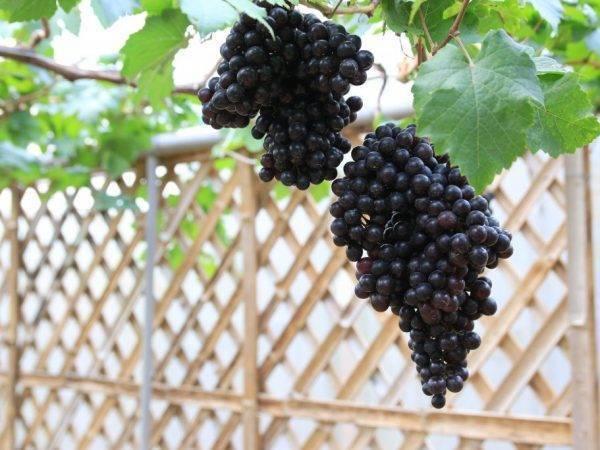 """Описание столового винограда """"черный палец"""""""