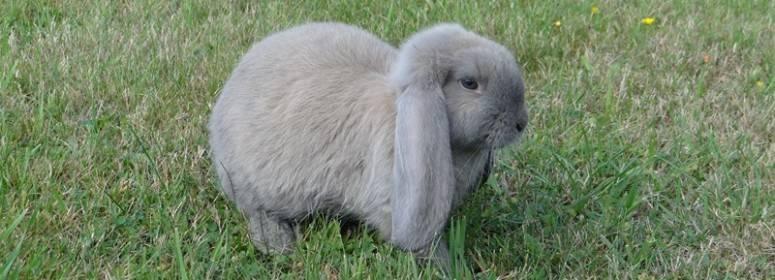 Кролик баран: характеристика породы, содержание, отзывы