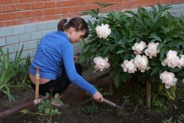 Чем подкормить пионы на даче осенью и весной