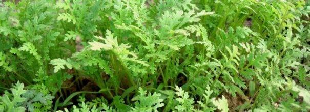 Фацелия как сидерат: когда сеять и когда закапывать под какие овощи фото видео