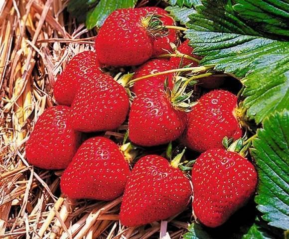 Клубника эльвира: описание сорта, отзывы садоводов, фото