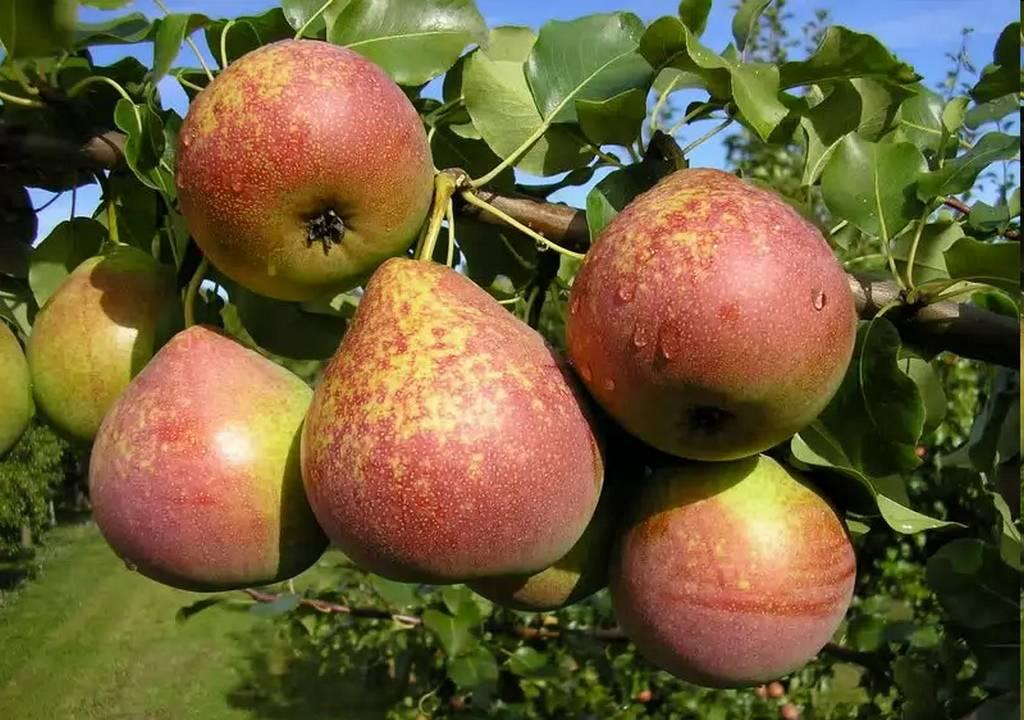 Груша сказочная: описание сорта, фото, отзывы садоводов, опылители, морозостойкость, выращивание