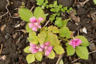 Княженика – посадка и уход за растением