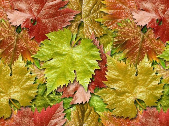 Листья винограда: полезные свойства и противопоказания, характеристика и описание, засолка, сушка и приготовление на зиму. рецепт настоя, отвара, чая