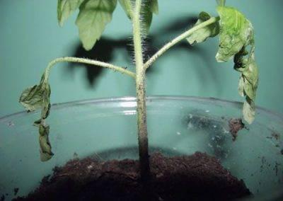 Черная ножка у растений. описание болезни, методы борьбы и лечение