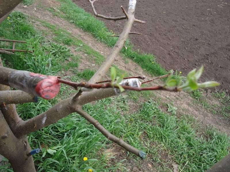 Прививка яблонь, как правильно привить весной и не только: пошаговая инструкция как это сделать, урок для начинающих + видео
