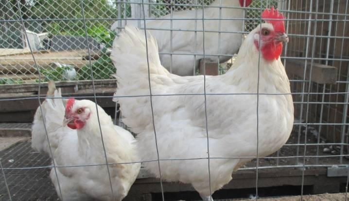 Бресс гальская порода кур: новая звезда курятника